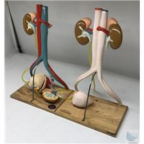 Lot of 2 Denoyer Geppert Urinary Tract System Anatomical Model