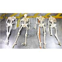 Lot of 5 Medical Grade Articulated Plastic Skeletons